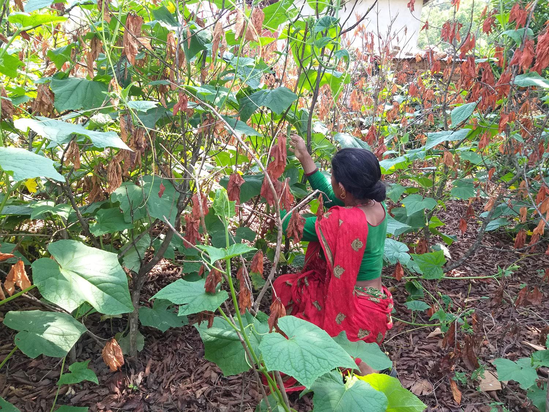 Sita Poudel in haar groententuin